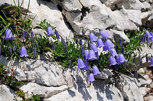 Fairies thimbles / Fairy thimble bellflowers (Campanula cochleariifolia) growing from crevice in karst limestone rock face at 1600m in the Julian Alps, Triglav National Park, Slovenia, July.  -  Nick Upton