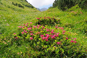 Hairy alpine rose (Rhododendron hirsutum) clumps growing in a grassy gulley below Dwarf pine (Pinus mugo) trees at 1650m on karst limestone mountainside, Julian Alps, Triglav National Park, Slovenia,...  -  Nick Upton