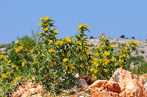 Common golden thistle / Spanish oyster thistle (Scolymus hispanicus) with clusters of yellow flowers growing on coastal limestone hillside, Zadar province, Croatia, July.  -  Nick Upton