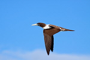 Immature Masked Booby (Sula dactylatra) in flight seen in profile. Takutea, Cook Islands, November.  -  Brent Stephenson