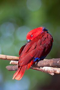 Eclectus Parrot (Eclectus roratus) female sleeping on perch. Captive individual. Kavieng, New Ireland, New Guinea, April.  -  Brent Stephenson