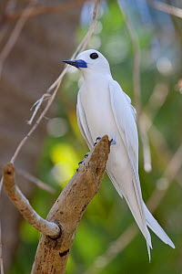 White / Fairy Tern (Gygis alba) perched on a branch. Gaferut Atoll, Yap Group, Federated States of Micronesia, April. - Brent Stephenson