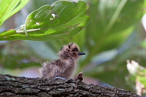 White / Fairy Tern (Gygis alba) chick on a branch. Gaferut Atoll, Yap Group, Federated States of Micronesia, April. - Brent Stephenson