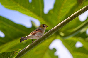 Silvereye / Grey-backed White Eye (Zosterops lateralis) perched in a papaya tree (Carica papaya). Papehue Valley, Tahiti, September.  -  Brent  Stephenson