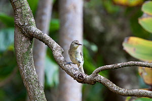Pitcairn Reed Warbler (Acrocephalus vaughani) perched on a branch. Pitcairn Island, Pitcairn Group, September.  -  Brent Stephenson