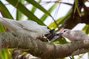 Adult White / Fairy Tern (Gygis alba) feeding fish to its small chick perched on a branch. Henderson Island, Pitcairn Group, September.  -  Brent Stephenson