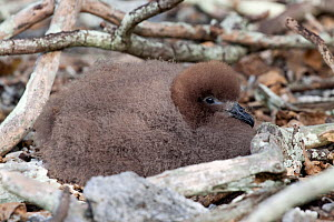 Murphy's Petrel (Pterodroma ultima) chick resting at its nest. Ducie Island, Pitcairn Group, September.  -  Brent Stephenson
