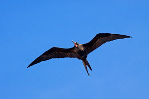 Great Frigatebird (Fregata minor) male in flight against a blue sky, showing underwing and deflated throat-pouch. Ducie Island, Pitcairn Group, September.  -  Brent Stephenson