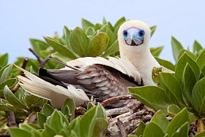 Red-footed Booby (Sula sula) on its nest in a low shrub. Ducie Island, Pitcairn Group, September.  -  Brent Stephenson