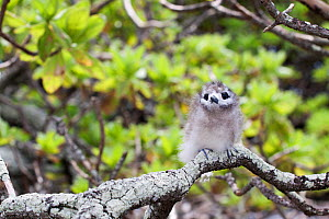 White / Fairy Tern (Gygis alba) chick with downy plumage perched on a branch. Ducie Island, Pitcairn Group, September.  -  Brent Stephenson