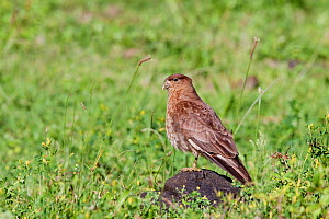 Chimango Caracara (Milvago chimango) perched on a rock amongst grass. Anakena, Easter Island, October.  -  Brent Stephenson