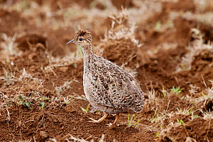 Chilean Tinamou (Nothoprocta perdicaria) in a cultivated field. Near Akivi, Easter Island, October.  -  Brent Stephenson