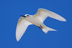 White / Fairy Tern (Gygis alba) in flight against a blue sky. Motu Omai, Rangiroa Atoll, Tuamotus, French Polynesia, November. - Brent Stephenson