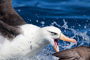 Campbell albatross (Thalassarche impavida) in threat display. Note the diagnostic pale eye of this species. Off North Cape, New Zealand, April.  -  Brent Stephenson
