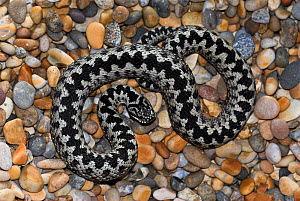 Adult Adder (Vipera berus) basking on pebble beach. Abbotsbury, Dorset, UK, March.  -  Colin Varndell