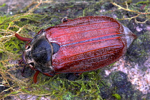 Adult Cockchafer (Melolontha) in spring. Dorset, UK, May.  -  Colin Varndell
