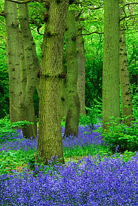 Hagbourne Copse with flowering  Bluebells (Hyacinthoides non-scripta). Swindon, Wiltshire, UK, May.  -  Colin Varndell