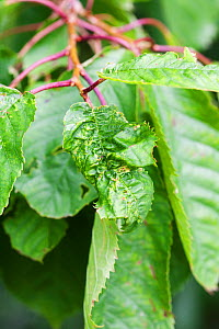 Leaf curl on cherry tree (Prunus sp) caused by fungus (Taphrina sp), UK, July  -  Simon Colmer