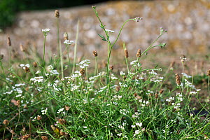 Spreading hedge-parsley (Torilis arvensis) flowering on field verge, Sussex, UK, July  -  Simon Colmer