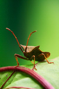 Dock Bug (Coreus marginatus) on beetroot leaf, Sussex, UK, July  -  Simon Colmer