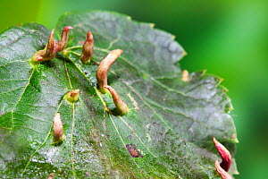 Lime nail / bugle galls on Lime leaf caused by Gall mite (Eriophyes tiliae) Sussex, UK, July  -  Simon Colmer