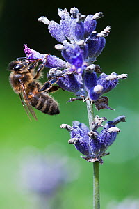 Honeybee (Apis mellifera) collecting nectar from Lavander flower (Lavandula sp), UK, August - Simon Colmer