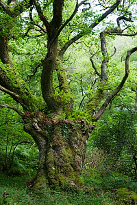 Ancient pollarded oak tree with ferns growing on branches, Horner Wood and Dunkery Beacon NNR, Exmoor NP,  Somerset, UK, August 2010  -  Simon Colmer