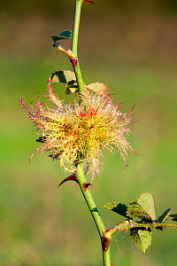 Robin's Pincushion / Bedeguar Gall on rose, caused by the tiny Gall wasp (Diplolepis rosae) Levin Down Nature Reserve, Sussex, UK, August - Simon Colmer