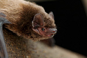 Leisler's bat (Nyctalus leisleri) Captive, UK - Simon Colmer