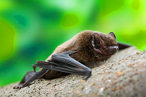 Leisler's bat (Nyctalus leisleri) climbing along branch, Captive, UK - Simon Colmer