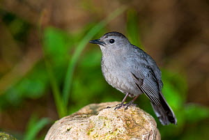 Gray Catbird (Dumetella carolinensis) perching on a rock. South Padre Island, Cameron County, Texas, USA, April. - David Welling