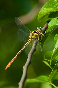 Russet-tipped Clubtail Dragonfly (Stylurus plagiatus) perching on foliage. Rio Grande Calley, Hidalgo County, Texas, USA.  -  David Welling