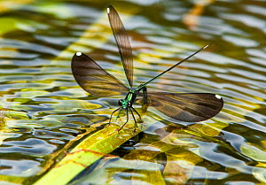 Sparkling Jewelwing (Calopteryx dimidiata) female displaying while perching on a waterplant leaf. Indian Creek, Jasper County, tTexas, USA.  -  David Welling