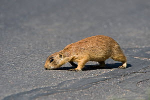 Utah Prairie Dog (Cynomys parvidens) on an asphalt road. Bryce Canyon National Park, Utah, USA, August.  -  David Welling