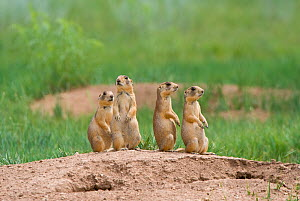 Utah Prairie Dogs (Cynomys parvidens) standing on watch outside their burrow. Bryce Canyon National Park, Utah, USA, August.  -  David Welling