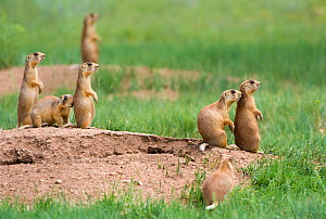 Utah Prairie Dog (Cynomys parvidens) standing on watch outside their burrow. Bryce Canyon National Park, Utah, USA, August.  -  David Welling