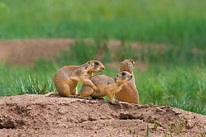 Utah Prairie Dog (Cynomys parvidens) by the entrance to their burrow. Bryce Canyon National Park, Utah, USA, August.  -  David Welling