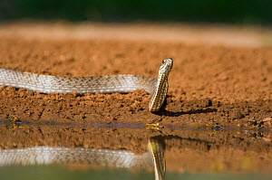 Western Coachwhip Snake (Masticophis flagellum testaceus) by water. Rio Grande Valley, Texas, USA, May.  -  David Welling