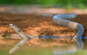 Western Coachwhip Snake (Masticophis flagellum testaceus) in water. Rio Grande Valley, Texas, USA, May.  -  David Welling