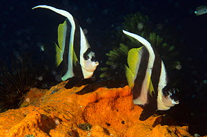 Longfin bannerfish (Heniochus acuminatus) on coral reef, Walindi, Papua New Guinea - Brent Hedges