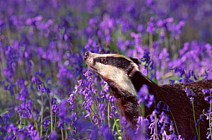 European Badger (Meles meles) in bluebells. UK, Europe, May. - Andy Rouse