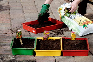 Sowing flower seeds in compost in seed trays, Germany - ARCO