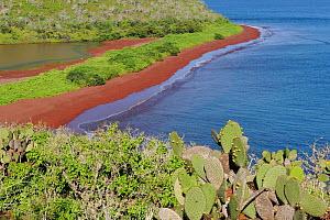 The coast of Rabida Island with red sand beach. Prickly Pear Cacti (Opuntia vuglaris) are in the foreground. Galapagos, Ecuador, April.  -  Staffan Widstrand