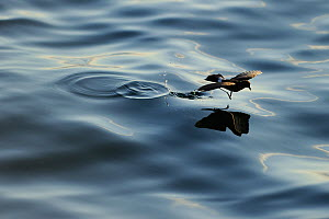 White-Vented / Elliot's Storm Petrel (Oceanites gracilis) gliding and skipping over calm water. Fernandina Island, Punta Espinosa, Galapagos, Ecuador, April.  -  Staffan Widstrand