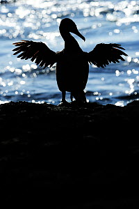 Galapagos / Flightless Cormorant (Phalacrocorax / Nannopterum harrisi) spreading its wings to dry, silhouetted against the sea. Fernandina Island, Punta Espinosa, Galapagos, Ecuador, April. - Staffan Widstrand