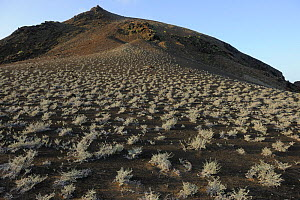 Scrub growing on steep volcanic hillside. Bartholomew Island, Galapagos, Ecuador, April 2010.  -  Staffan Widstrand