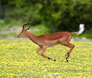 "Black-faced Impala (Aepyceros melamis petersi) male jumping (""stotting"" or ""pronking"") to demonstrate fitness to potential mates, competitors and predators. Devil's Thorn fl (Tribulus terrestris) in f... - Tony Heald"