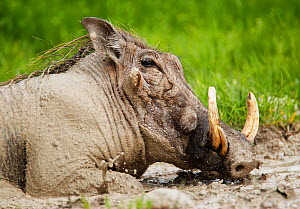 RF- Warthog (Phacochoeros aethiopicus) male wallowing in mud. Etosha National Park, Namibia, January. (This image may be licensed either as rights managed or royalty free.) - Tony Heald