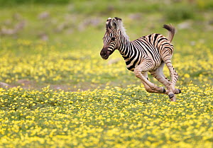 Zebra (Equus quagga) foal running through Devil's Thorn flowers (Tribulus terrestris). Etosha National Park, Namibia, January.  -  Tony Heald