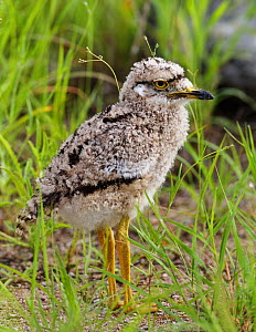 Spotted Thick-Knee / Cape Dikkop (Burhinus capensis) chick. Etosha National Park, Namibia, January. - Tony Heald